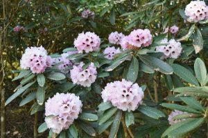 Uvarifolium flowers in bloom